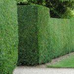 Советы по выбору растений для живой изгороди
