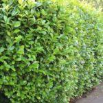 Живая изгородь: посадка и уход