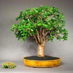 Денежное дерево: разновидности, уход