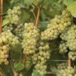 Самые распространенные ошибки при обрезке винограда