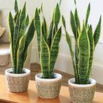 Расположение комнатных растений по фен-шуй