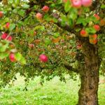 Омоложение старой яблони